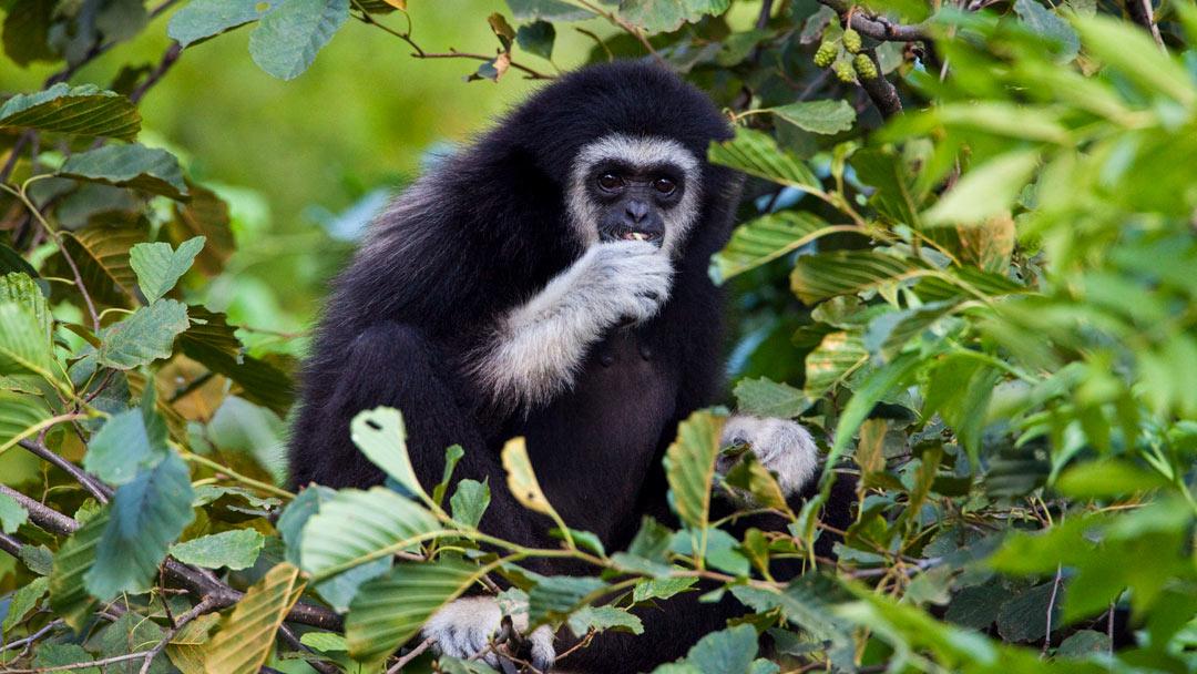 White-handed Gibbon Singing