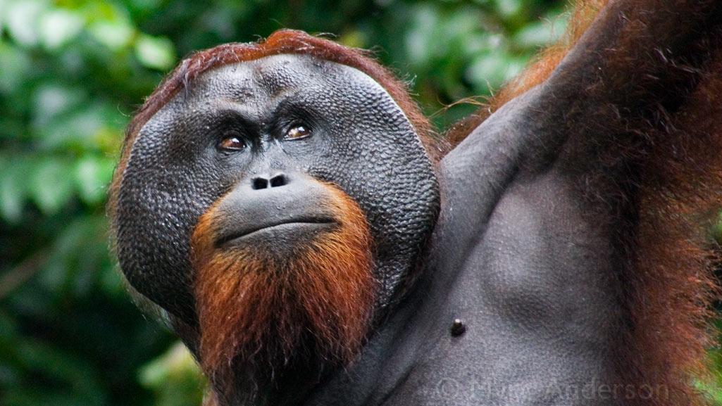 Orangutan Long Call, Danum Valley, Sabah, Malaysia