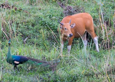 Green Peafowl and wild Banteng