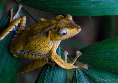 Borneo Eared Frog (Polypedates otilophus)