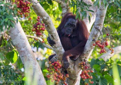 Orangutan feeding on ripe figs