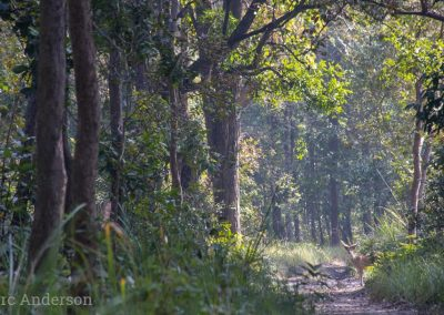 Chital in the forest