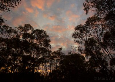 Mallee at twilight