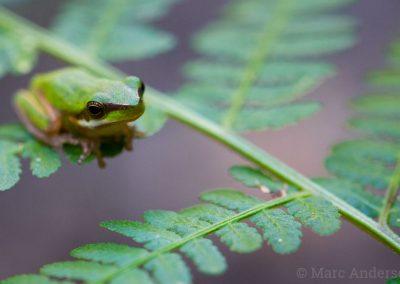 Dwarf Green Treefrog