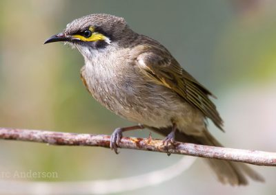 Yellow-faced Honeyeater (Caligavis chrysops)