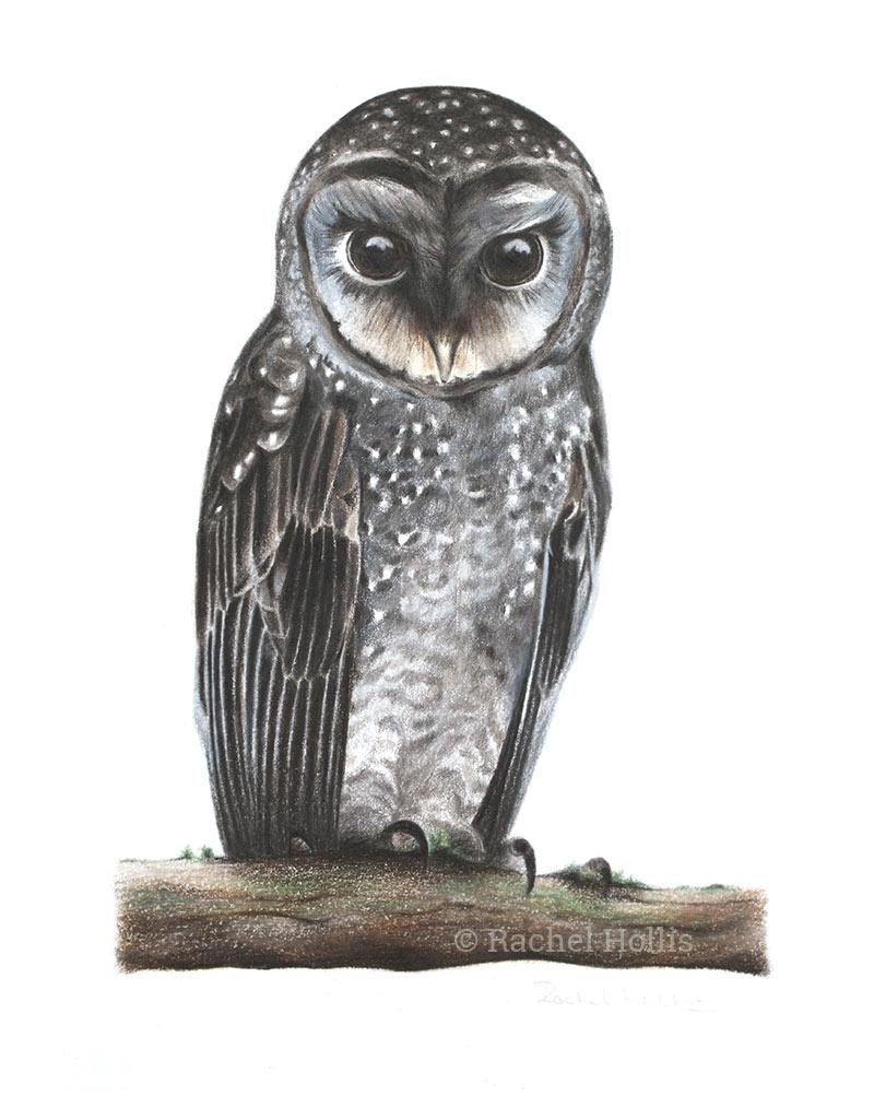 Greater Sooty Owl (Tyto tenebricosa)