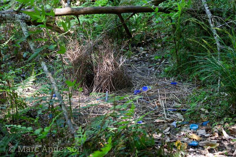 Bower of the Satin Bowerbird (Ptilonorhynchus violaceus)