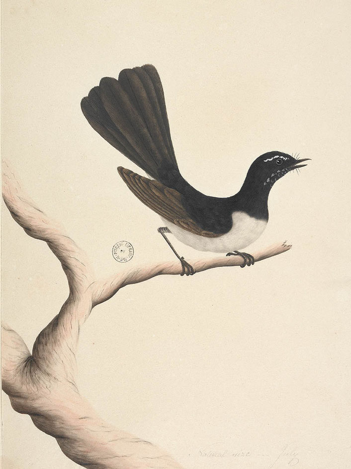 Willie Wagtail painting by 'Sydney Bird Painter' c.1792
