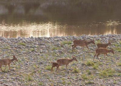 Chital on a riverbank