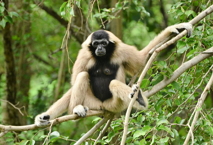 Pileated Gibbon - Female