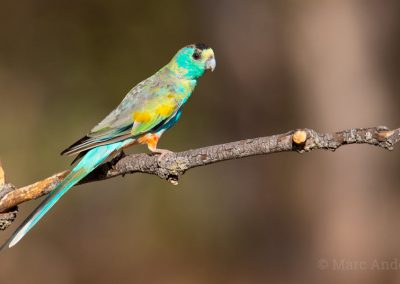 Golden-shouldered Parrot (Psephotellus chrysopterygius)