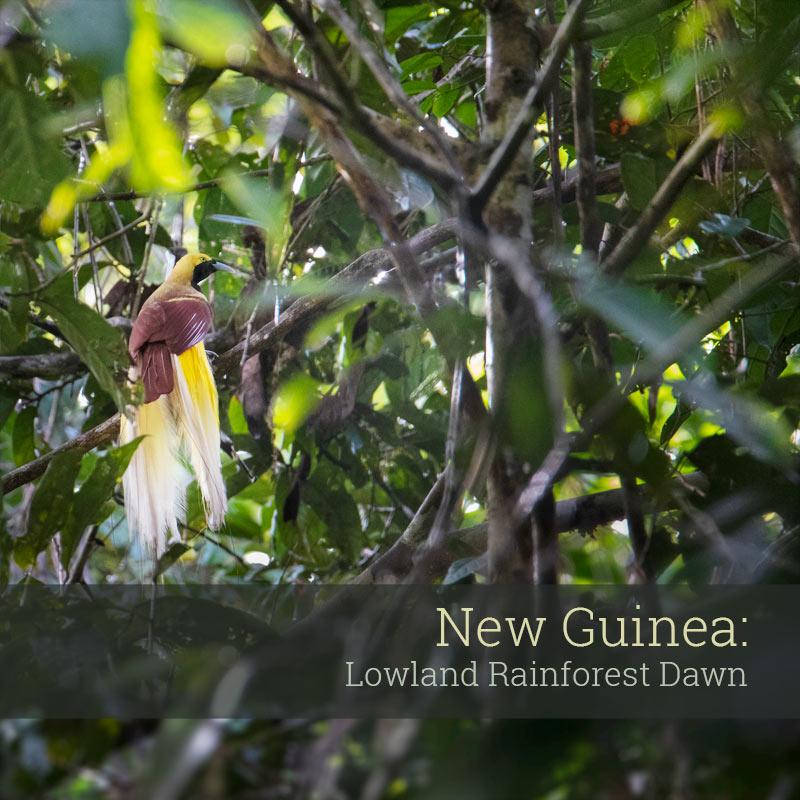 New Guinea: Lowland Rainforest Dawn