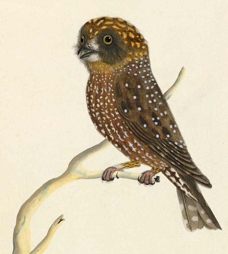 Painting of a Southern Boobook by 'The Sydney Bird Painter'