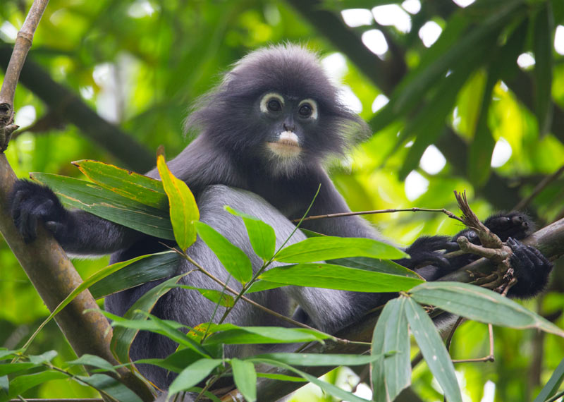 Spectacled Leaf Monkey (Trachypithecus obscurus)