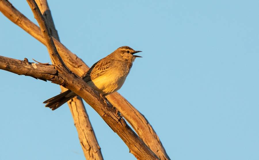 Rufous Songlark Singing